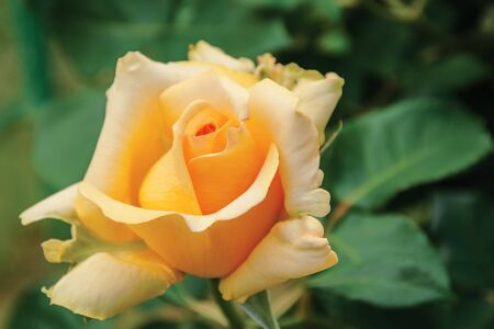 rose blossom in the garden. beautiful yellow flower close up Stock Photo