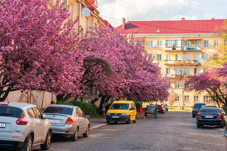 Uzhhorod, ukraine - 18 APR, 2019: streets of small town in cherry blossom. wonderful sunny afternoon with some clouds on the sky. people walking by, making selfies, cars parked on the road side
