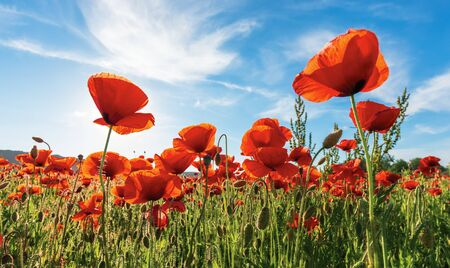 poppy field on a sunny afternoon. stunning rural scenery with red flowers in mountains. bright blue sky with fluffy clouds. summer countryside outdoors happy days memories concept