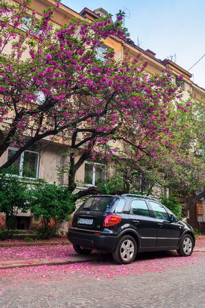 uzhhorod, ukraine - 02 MAY, 2010: black compact suv car under the cherry tree in blossom. typical scenario on the streets of old town in springtime. fallen petals on the cobbled pavement. Editorial