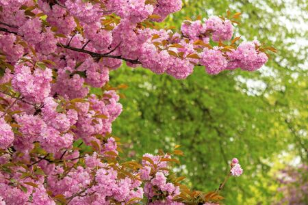 cherry blossom in the park. beautiful springtime nature background. close up of blooming twigs of sakura trees. wonderful color combination of pink flowers and green foliage