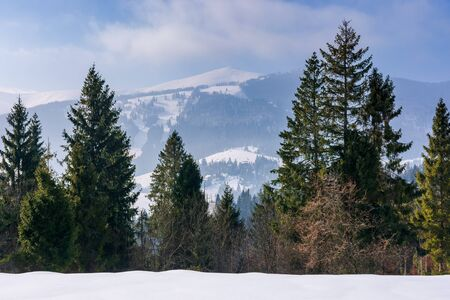 spruce forest on the snow covered mountain meadow. beautiful winter scenery with the distant ridge. sunny weather with fluffy clouds on the blue sky. borzhava - scenic destination of transcarpathia