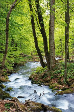 water stream in the forest. primeval beech woodland in springtime. Stock Photo