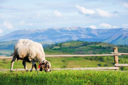 fluffy goat grazing fresh green grass on a mountain meadow in front of the fence. distant ridge with snow capped tops beneath a blue sky with clouds. countryside landscape on a sunny springtime day Stock Photo