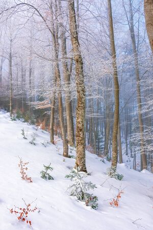 magical winter nature scenery in the morning. beautiful foggy weather in the primeval beech forest of carpathians. leafless trees in hoarfrost. sunny and hazy weather.  fairy tale environment
