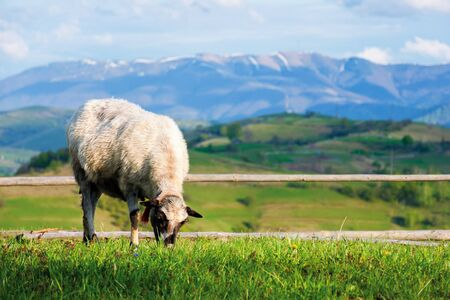 fluffy goat grazing fresh green grass on a mountain meadow in front of the fence. distant ridge with snow capped tops beneath a blue sky with clouds. beautiful countryside scenery in springtime
