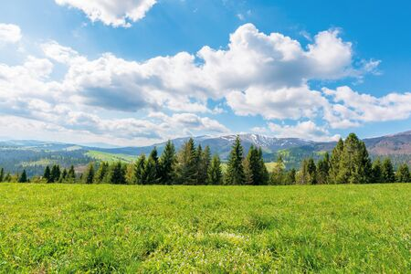 spruce forest on the grassy meadow in mountains. great transcarpathian springtime nature landscape on a sunny day. borzhava ridge with snow capped top in the distance. blue sky with fleecy clouds.