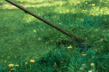 professional grass mowing in the park. green lawn with yellow dandelions. close up shot of gasoline brush cutter head with nylon line trimming fresh grass to small pieces. side view of back lit scene Stock Photo