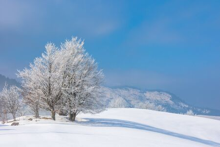 bunch of trees in hoarfrost on snow covered hill. sunny morning landscape. hazy weather with blue sky. wonderful winter nature scenery of white season in carpathian mountains Stock Photo