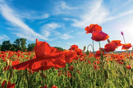 poppy field on a sunny afternoon. stunning rural landscape with red flowers in mountains. bright blue sky with fluffy clouds. summer countryside outdoors happy days memories concept Stock Photo - 134450751