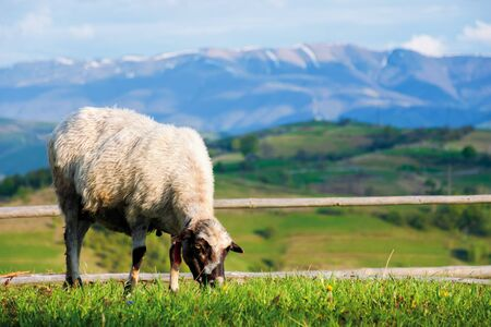 fluffy goat grazing  fresh green grass on a mountain meadow in front of the fence. distant ridge with snow capped tops beneath a blue sky with clouds. wonderful rural scenery on a sunny springtime day Stock Photo