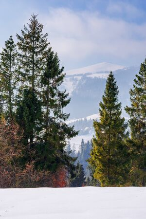 evergreens on the snow covered slope. beautiful winter scenery with the distant ridge. sunny weather with fluffy clouds on the blue sky. borzhava - popular destination of transcarpathia
