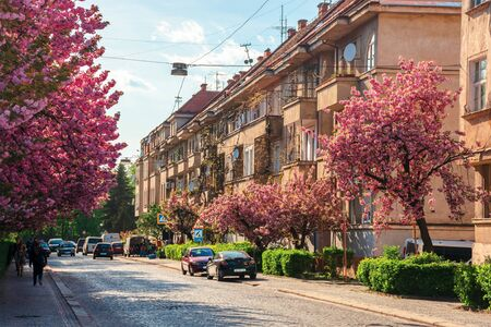 Uzhhorod, ukraine - 18 APR, 2019: streets of small town in cherry blossom. wonderful sunny afternoon with some clouds on the sky. people walking by, cars parked on the road side