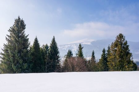 spruce forest on the snow covered mountain meadow. beautiful winter landscape with the distant ridge. sunny weather with fluffy clouds on the blue sky. borzhava - scenic destination of transcarpathia