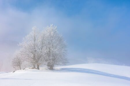 bunch of trees in hoarfrost on snow covered hill. sunny morning landscape. foggy weather with blue sky. fairy tale winter atmosphere. beautiful nature scenery of white season in carpathian mountains