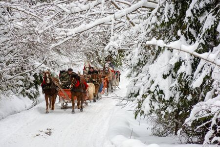 Synevyr national park, ukraine - 11 FEB 2018: winter holiday fun. riding horses in open sleigh through forest. nature scenery with spruce trees in snow