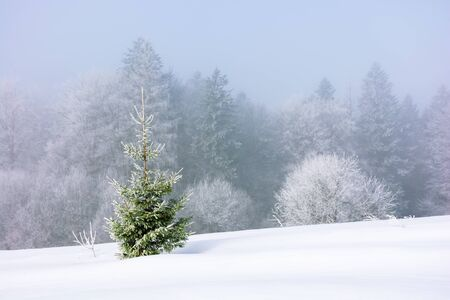 small spruce tree on the snow covered meadow. distant forest in hoarfrost. foggy and frosty weather. great Christmastime mood. wonderful background for postcard