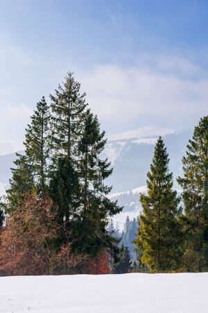 fir trees on the snow covered mountain meadow. beautiful winter landscape with the distant ridge. sunny weather with fluffy clouds on the sky. scenic open vista of transcarpathia