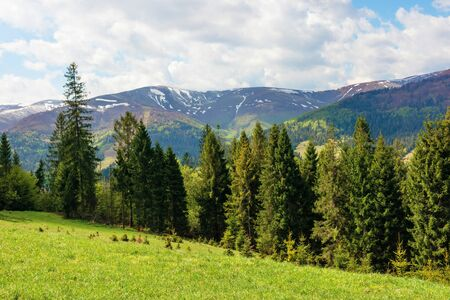 spruce forest on a grassy hill in mountains. springtime landscape in dappled light. tops of distant ridge with spots of snow. fresh air on windy weather day with clouds on the sky. calmness and peace