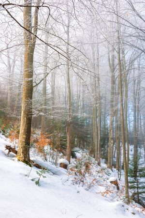 magical winter nature scenery in the morning. wonderful misty weather in the primeval beech forest of carpathians. leafless trees in hoarfrost. sunny and foggy weather. enchanted atmosphere Stock Photo