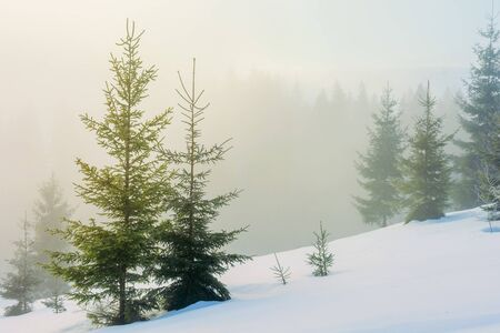 winter fairy tale landscape in mountains. beautiful nature scenery with coniferous forest in fog and some spruce trees on the snow covered slope. wonderful Christmas mood on misty morning Stock Photo