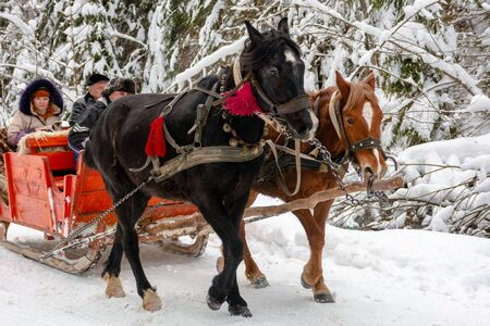 Synevyr national park, ukraine - 11 FEB 2018: winter holiday fun. riding horses in red open sleigh through forest. nature scenery with spruce trees in snow. rufous woman on the back seat