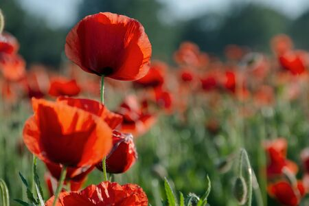 blooming field of red poppy flowers at sunset. abstract nature blur. nature scenery with blurred background in evening light