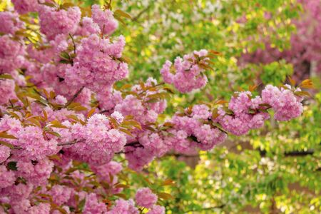 cherry blossom in the garden. splendid springtime nature scenery. close up of blooming twigs of sakura trees. beautiful color combination of pink flowers and green foliage