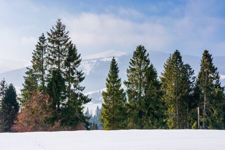 spruce forest on the snow covered mountain meadow. beautiful winter scenery with the distant ridge. sunny weather with fluffy clouds on the blue sky. gorgeous landscape of transcarpathia Stock Photo