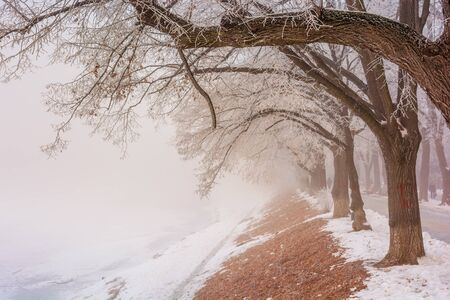 the longest linden alley in winter. beautiful urban scenery of embankment covered in snow and brown fallen foliage. enchanting foggy background in the morning. trees in hoarfrost