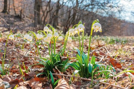 snowdrop flowers on the forest glade. sunny springtime scenery. white Leucojum aestivum bloom symbol of new beginnings and warm days