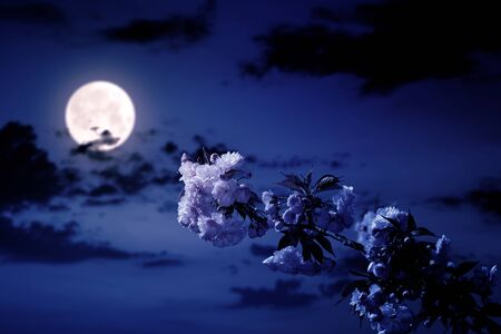 cherry blossom on the blue sky background at night. wonderful spring nature scenery in pink full moon light