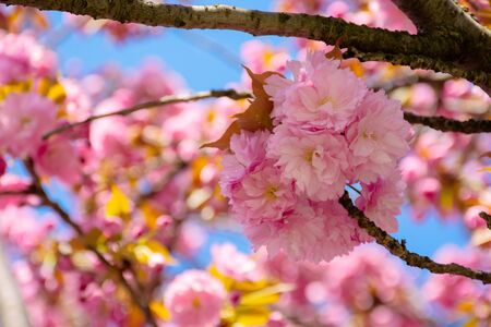 pink cherry blossom close up. spring has sprung. beautiful nature background