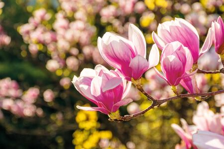 pink blossom of magnolia tree. big flowers on the twig on a sunny day. garden nature background. happy springtime mood. spring has sprung Stock Photo