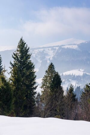 fir trees on the snow covered mountain meadow. beautiful winter landscape with the distant ridge. sunny weather with fluffy clouds on the blue sky. borzhava - scenic destination of transcarpathia