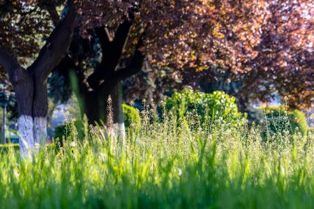 fresh tall grass among the trees in the park. great sunny morning weather. wonderful outdoors with blurred background