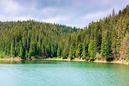 lake among the coniferous forest in mountains. beautiful nature scenery of synevyr national park in morning light.