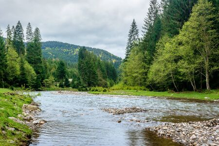 mountain river in the forest. carpathian landscape in springtime. beautiful nature scenery on a cloudy day