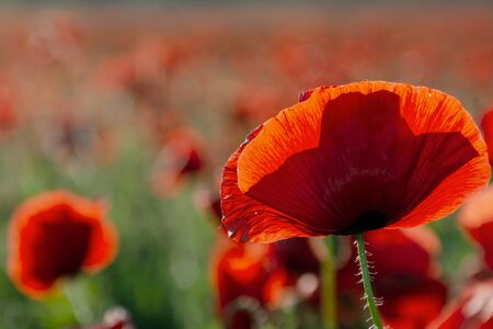 blooming field of red poppy flowers at sunset. abstract nature blur. nature scenery with blurred background in evening light Stock Photo - 137214039