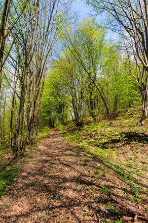 footpath through forest in spring. sunny weather. trees in vivid green leaves.  Stock Photo