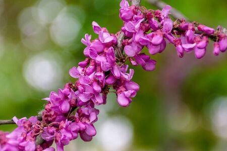 judas tree in blossom. purple flowers on the twigs. beautiful redbud background. Stock Photo