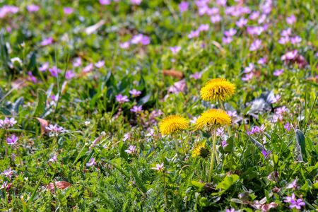 yellow dandelion flowers in the green grass among purple germander speedwell. common flowering weeds.  springtime nature background on a sunny day. Stock Photo