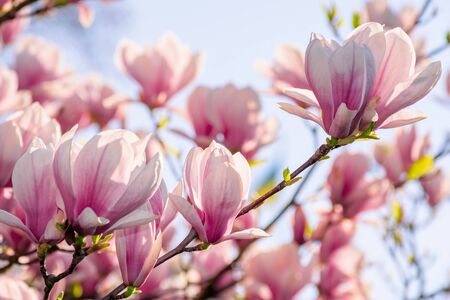 magnolia tree blossom in springtime. tender pink flowers bathing in sunlight. warm april weather Stock Photo