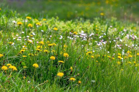 pissenlits et autres mauvaises herbes parmi l'herbe. une arrière-cour envahie par la végétation doit être nettoyée. concept d'entretien des pelouses au printemps