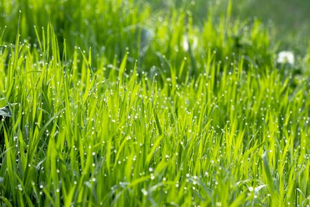 dew drops on the green grass. wonderful close up of nature background in the morning. freshness concept Stock Photo
