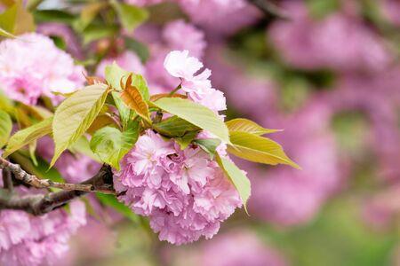 sakura blossom in the garden. beautiful nature scenery in springtime