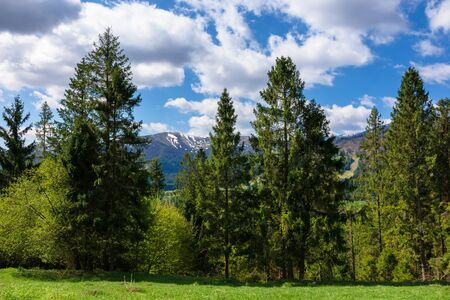 mountain landscape in spring. fir forest on the green grassy meadow. ridge with snow capped tops in the distance. wonderful sunny weather with fluffy clouds on the blue sky Stock Photo