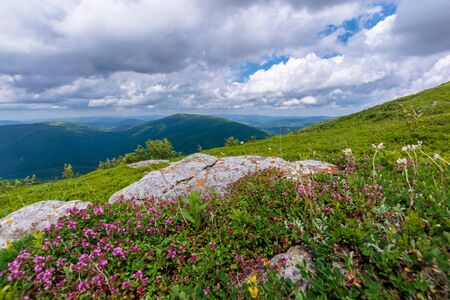 blooming wild herbs on the grassy hill. beautiful nature scenery of alpine meadows in carpathian mountains. summer weather with clouds on the blue sky Stock Photo
