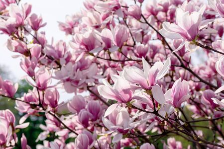 pink blossom of magnolia tree. big flowering on the twigs in sunlight. spring season in the garden. bright ornamental background Stock Photo