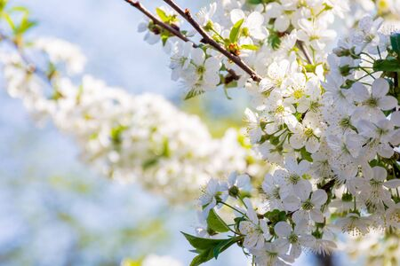 white blossom of apple tree. tiny flowering in the twigs in sunlight. spring season in the garden. bright ornamental background.